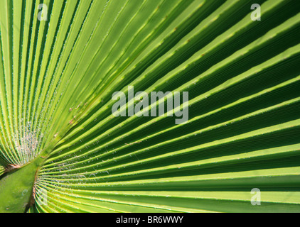 Very detailed high resolution close-up shot of a fresh green palm leave - Stock Photo