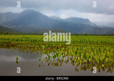 Kauai, HI: Hanalei Valley taro fields in Hanalei National Wildlife Refuge - Stock Photo