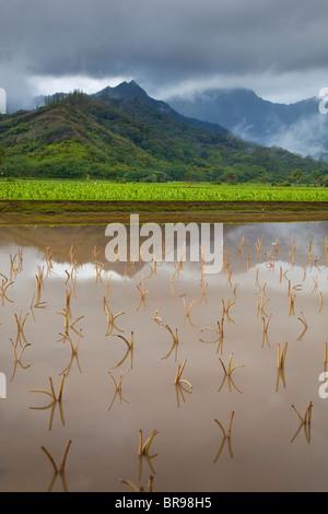 Kauai, HI: Hanalei Valley taro fields in Hanalei National Wildlife Refuge - Stockfoto