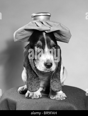 BASSETT HOUND DOG WITH ICE PACK ON HEAD - Stockfoto
