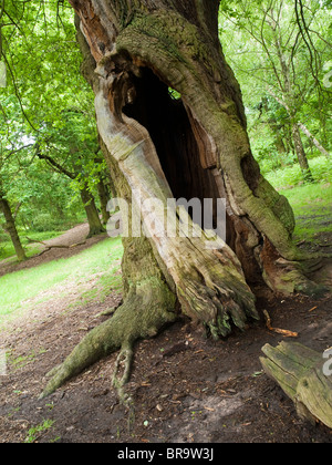 An oak tree in Sherwood Forest, Nottinghamshire England UK - Stock Photo