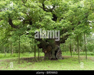 The Major Oak in Sherwood Forest, Nottinghamshire England UK - Stock Photo