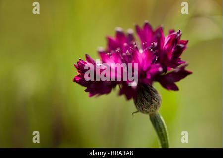 Centaurea cyanus 'Black Boy', Cornflower, in flower - Stock Photo