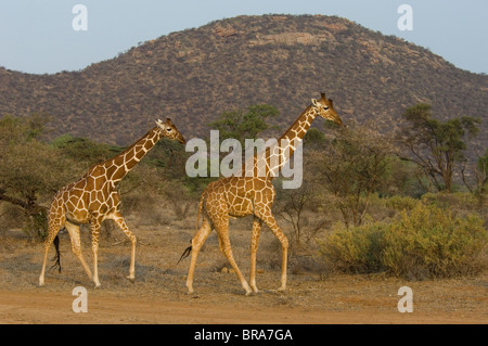 TWO RETICULATED GIRAFFES SAMBURU NATIONAL RESERVE KENYA AFRICA - Stock Photo