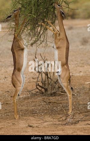TWO GERENUKS STANDING ON HIND LEGS WITH HEADS IN TREE BRANCHES EATING SAMBURU NATIONAL RESERVE KENYA AFRICA - Stock Photo