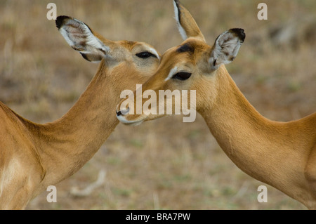 TWO GERENUK ANTELOPE HEAD TO HEAD SAMBURU NATIONAL RESERVE KENYA AFRICA - Stock Photo