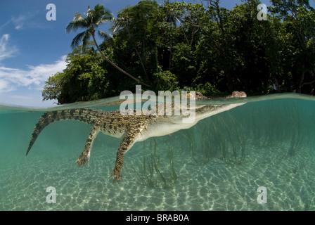Saltwater crocodile (Crocodylus porosus) swimming at water surface, split-level, New Guinea, Indo-pacific - Stock Photo