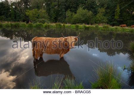 Highland Cattle in village pond at Hanworth common Norfolk - Stock Photo