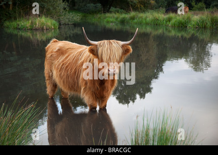 Highland Cattle cooling off in village pond at Hanworth common Norfolk - Stock Photo