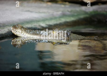Crocodile, Sydney, New South Wales, Australia - Stock Photo