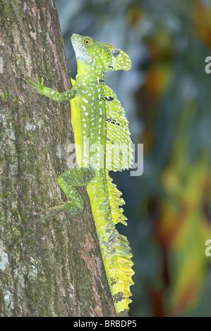 Basilisk lizard (Basiliscus plumifrons) climbing up tree, Costa Rica, Central America - Stock Photo