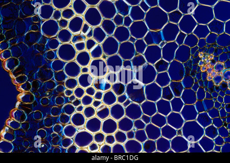 Light Micrograph (LM) of a transverse section of a stem of Whisk Fern (Psilotum nudum), magnification x 600 - Stockfoto