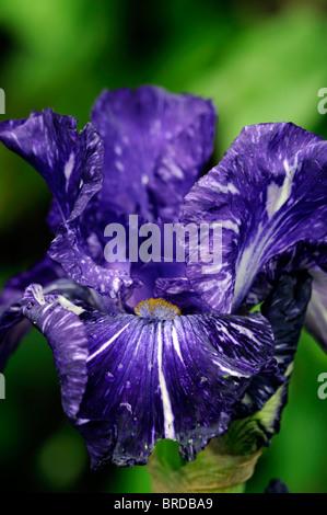 deep blue navy bearded iris close up detail flower bloom blossom - Stockfoto