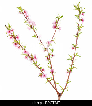 peach tree branch with flowers and leaves isolated on white - Stock Photo