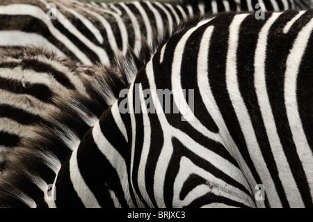 Zebra stripes. - Stock Photo