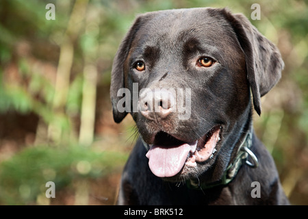 Shot of a Chocolate Labrador in the Countryside - Stock Photo