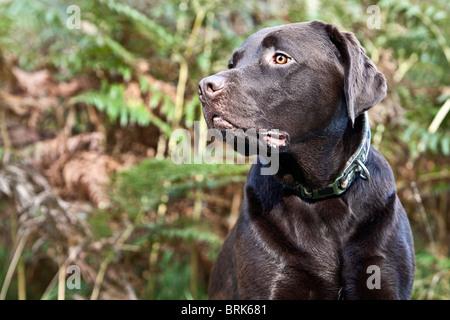 Schuss von Chocolate Labrador auf dem Lande - Stockfoto