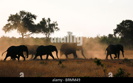 A silhouette of a herd of African elephants with a calf walking in dry veld - Stock Photo