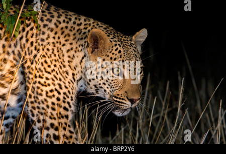 Leopard walking through dry grass at night - Stock Photo