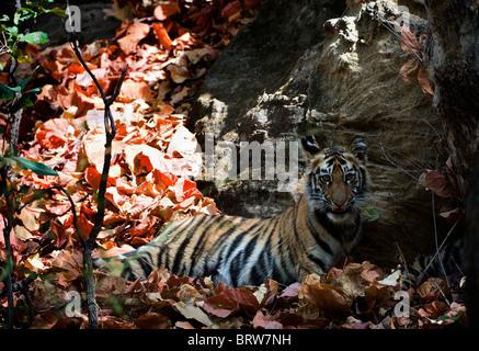 Cute bengal tiger cub. - Stock Photo