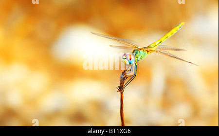 Closeup portrait of a beautiful colorful dragonfly - Stock Photo