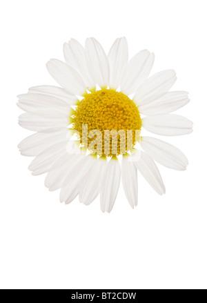 oxeye Daisy flower studio cutout - Stock Photo