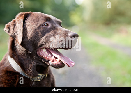 Happy Chocolate Labrador in the Countryside - Stock Photo