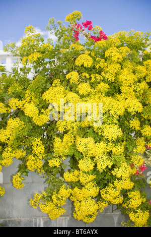 Senecio mikanioides or Delairea odorate in full flower. Known as Cape Ivy or German Ivy - Stock Photo