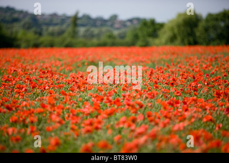 A field of red poppies - Stock Photo