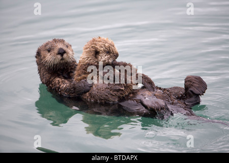 Female Sea otter holds newborn pup while floating in Prince William Sound, Alaska, Southcentral, Winter - Stock Photo