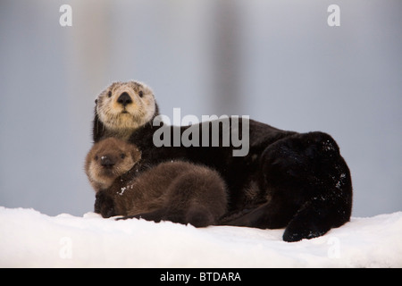 Female Sea Otter hauled out on a snow mound with newborn pup, Prince William Sound, Alaska, Southcentral, Winter - Stockfoto