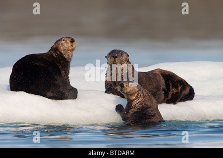 Group of Sea Otters hauled out on iceberg, Prince William Sound, Alaska, Southcentral, summer - Stockfoto
