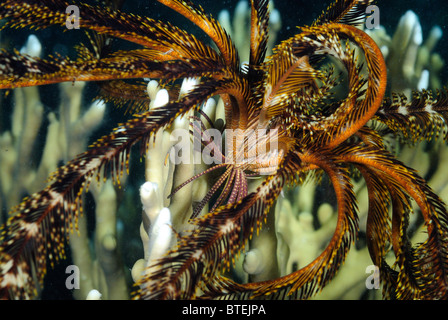 Feather star at night off Hamata coast, Egypt, Red Sea - Stock Photo