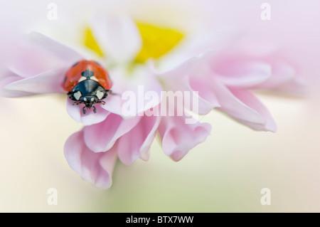 Coccinella septempunctata - Coccinella 7-punctata - 7-spot Ladybird on a pink Daisy flower - Stockfoto