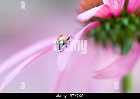 Coccinella septempunctata - Coccinella 7-punctata - 7-spot Ladybird on a pink coneflower - Stockfoto