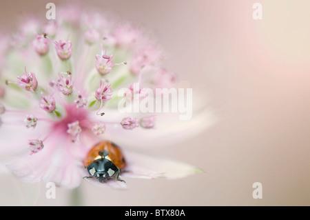 Coccinella septempunctata - Coccinella 7-punctata - 7-spot Ladybird on an Astrantia flower - Stockfoto