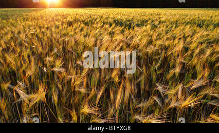 Sunset over a golden wheat field. - Stock Photo
