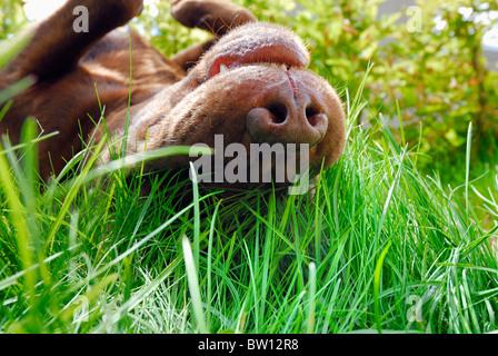 Brown Labrador Retriever rolling in the grass, Sweden - Stock Photo
