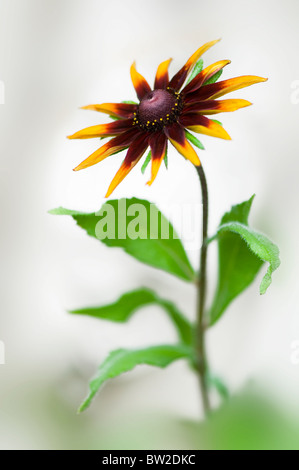 A single Coneflower Rudbeckia hirta 'Marmalade' close-up - Stock Photo