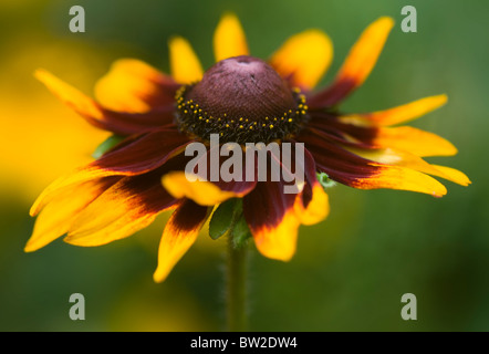 Close-up image of the beautiful summer flowering Rudbeckia hirta 'Marmalade' also known as black-eyed Susan flower. - Stock Photo
