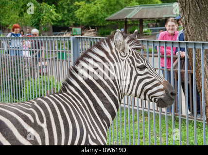Zebra in Kyiv Zoo, Ukraine - Stock Photo