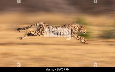 Cheetah chasing prey at full stride, Namibia - Stockfoto