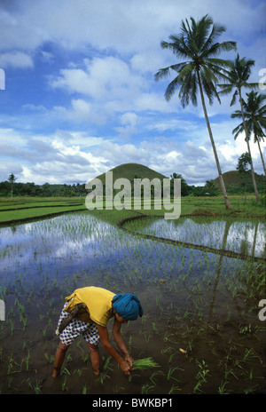 A woman planting rice on a rice field in the Chocolate Hills, Bohol island, Philippines, Asia - Stock Photo