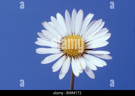 Daisy, English Daisy (Bellis perennis), flower, studio picture. - Stock Photo