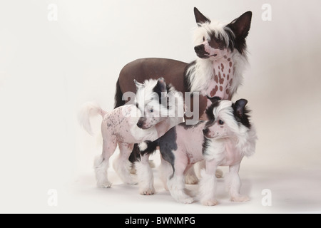 Chinese Crested 4 Months Three Chinese Crested ...