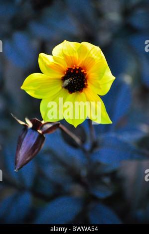 yellow flower and bud - Stock Photo
