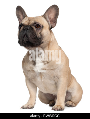 French Bulldog, 2 years old, sitting in front of white background - Stock Photo