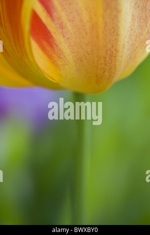abstract tulipa bloom blooms close cultivated england english flower flowering flowers garden gardens liliaceae - Stock Photo