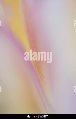 liliaceae tulip tulips abstract abstracts close close up bloom blooms detail details garden petal petals plant plants - Stock Photo