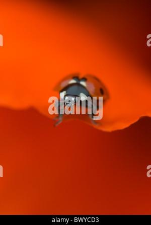 Coccinella septempunctata - Coccinella 7-punctata - 7-spot Ladybird on a red poppy flower petal - Stockfoto